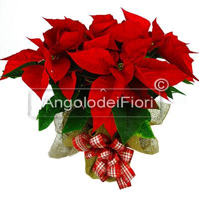 Stella Di Natale Regala Una Stella Di Natale L Angolo Dei Fiori