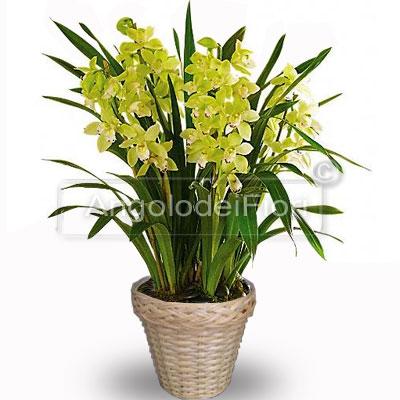 Pianta Orchieda Cymbidum