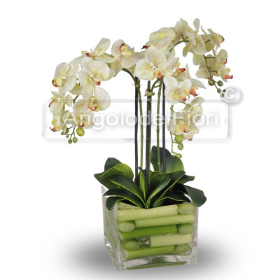 Beautiful Phalaenopsis Orchid Plant