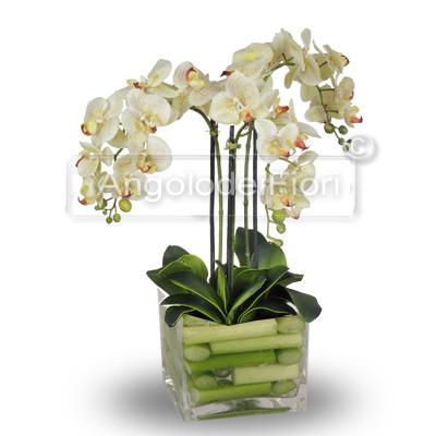 Bellissima Pianta di Orchidea Phalaenopsis