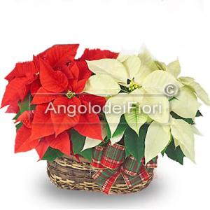 Basket of Poinsettias