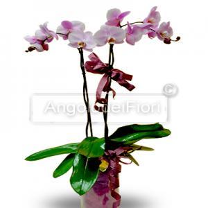 Plant Ochidea purple Phalaenopsis