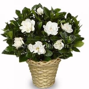 Pianta di gardenia bianca