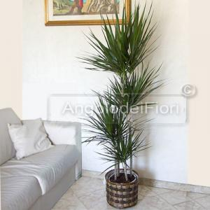 Plant Dracaena marginata
